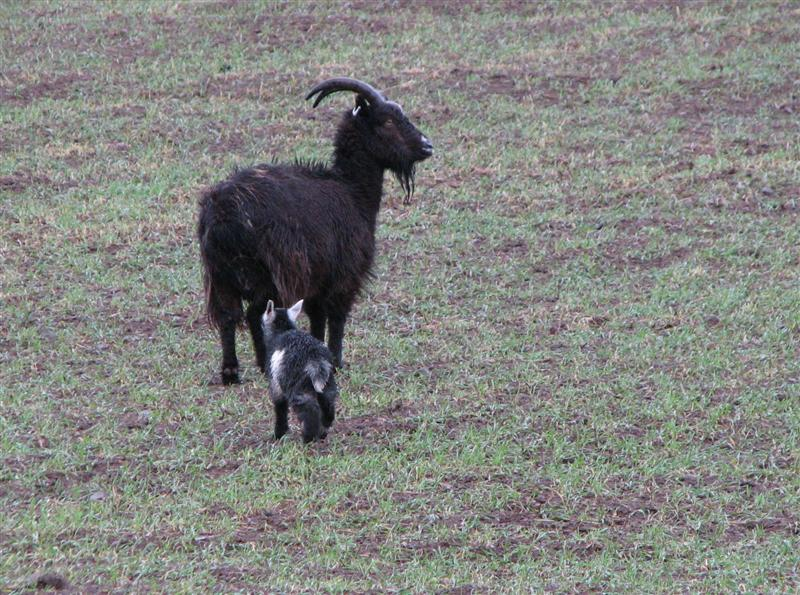 wild goat with kid 2