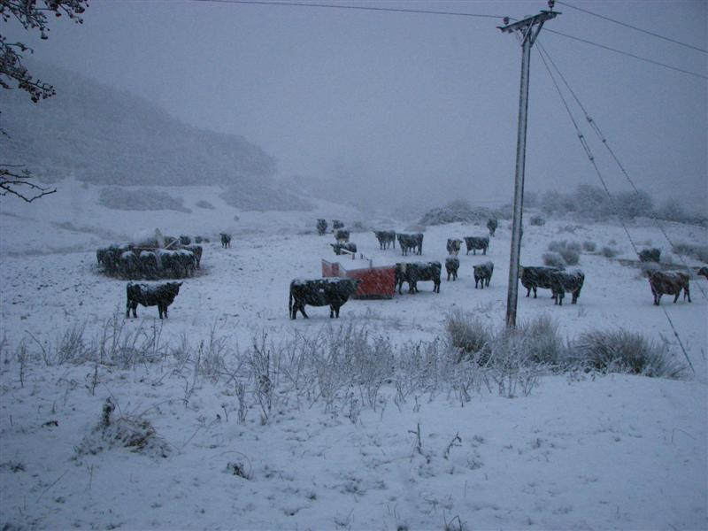 Cattle in snow 3