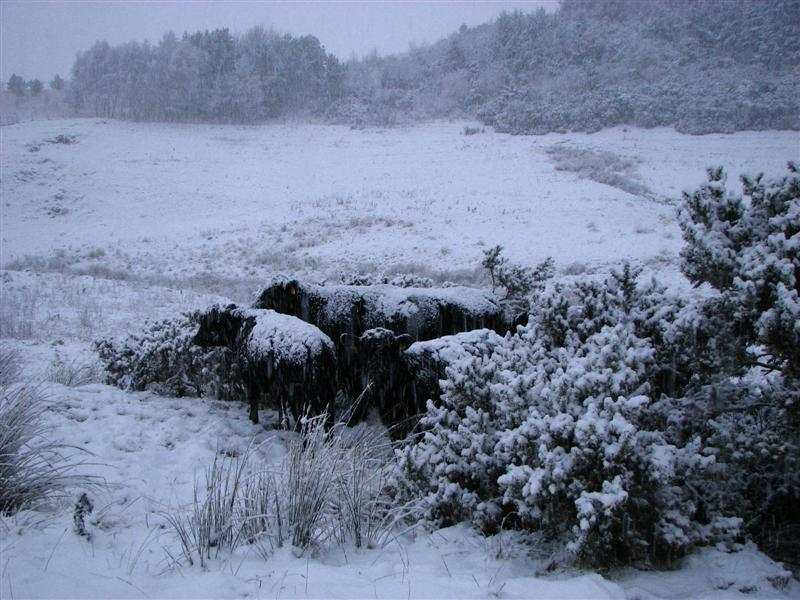 Cattle in snow 2