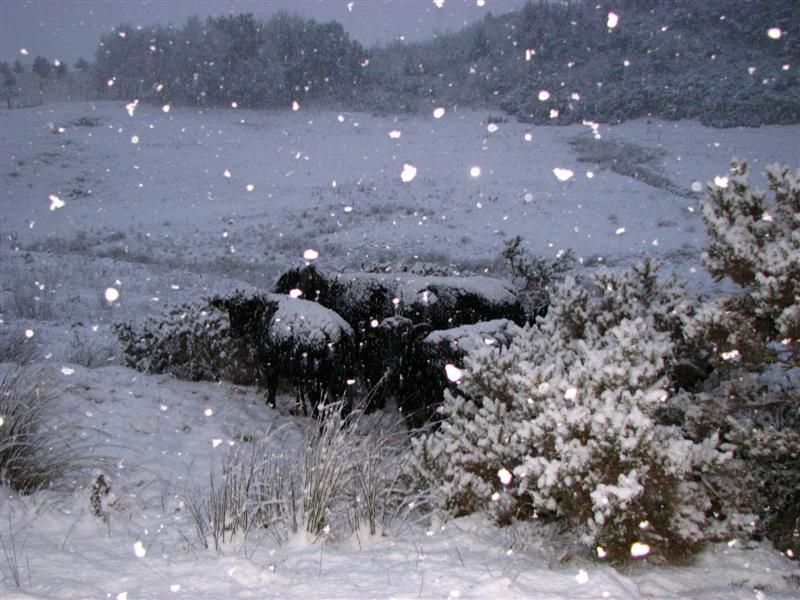 cows in snow