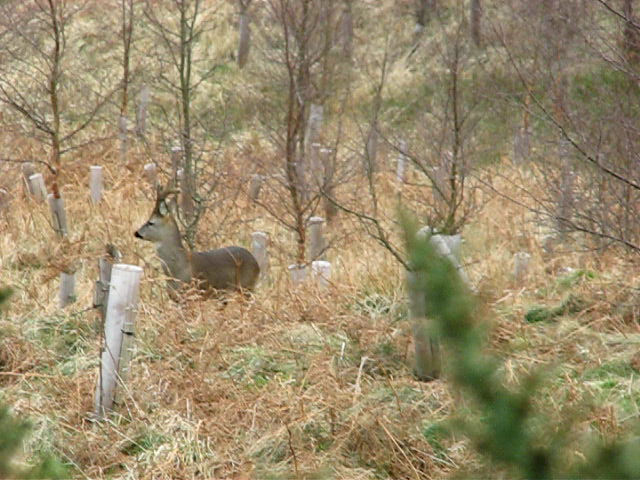 Roe buck in velvet